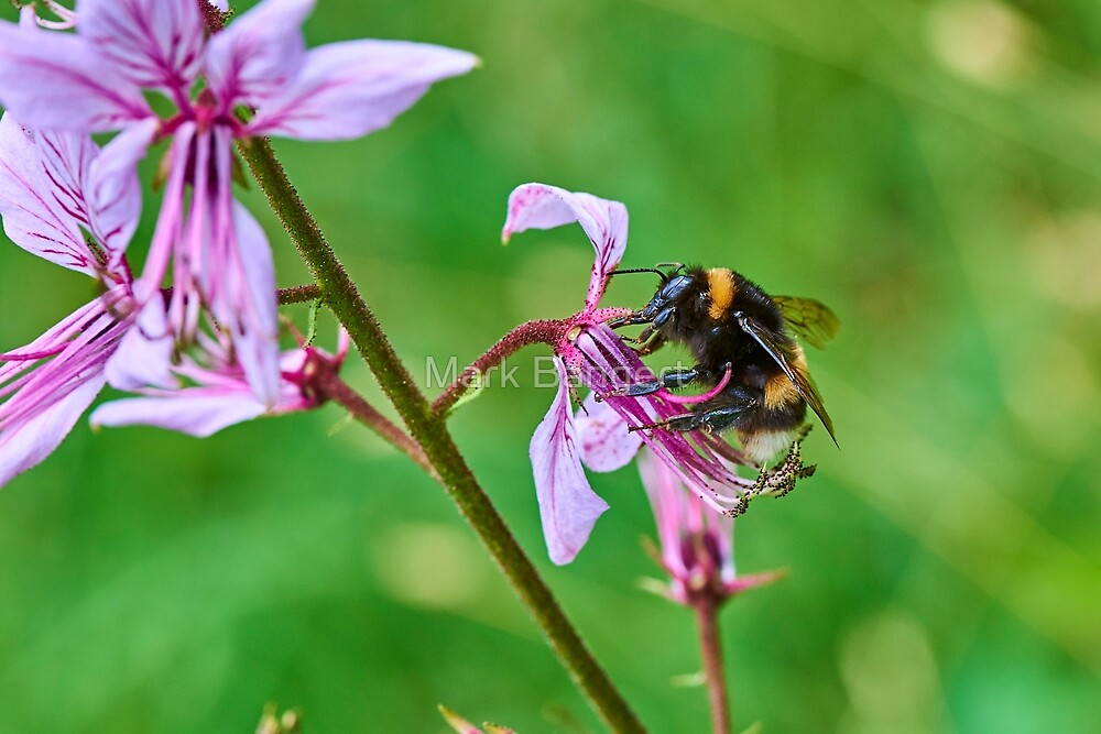 Bumble bee gets stuck in to an orchid by Mark Bangert