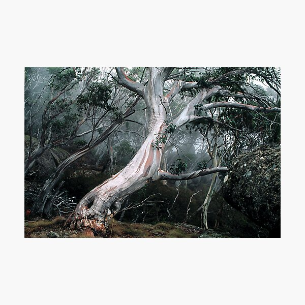 Snow Gum Forest Photographic Print