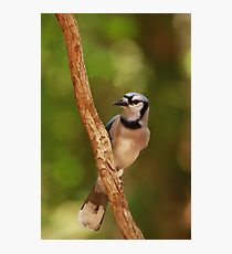 Blue Jay's rest Photographic Print