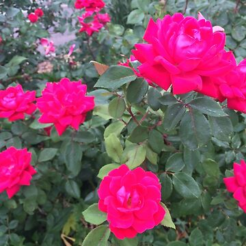 Fuchsia Roses by BetteB