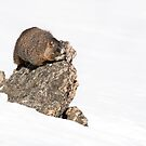A marmot and his rock by Eivor Kuchta