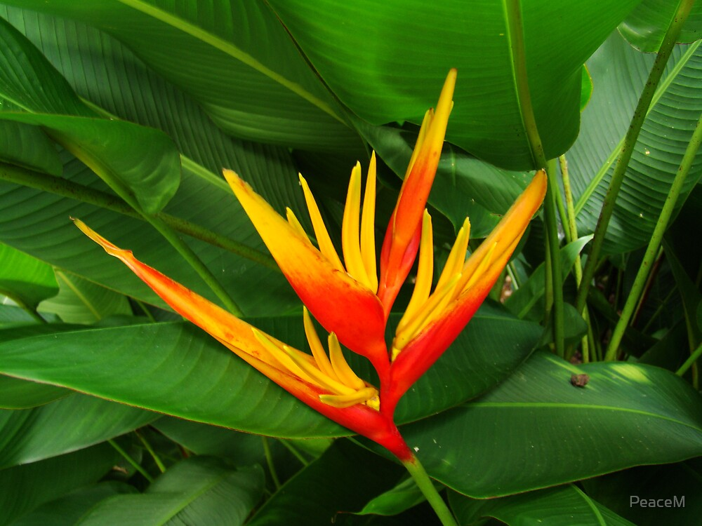 Quot Tropical Flowers Series Orange Heliconia Ii Quot By Peacem