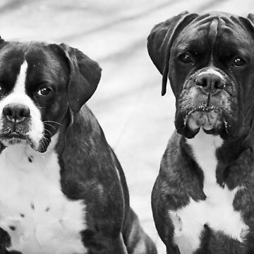 Portrait of 2 boxers -Boxer Dogs Series- by Evita