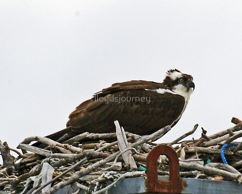 Osprey returns for the summer by lloydsjourney