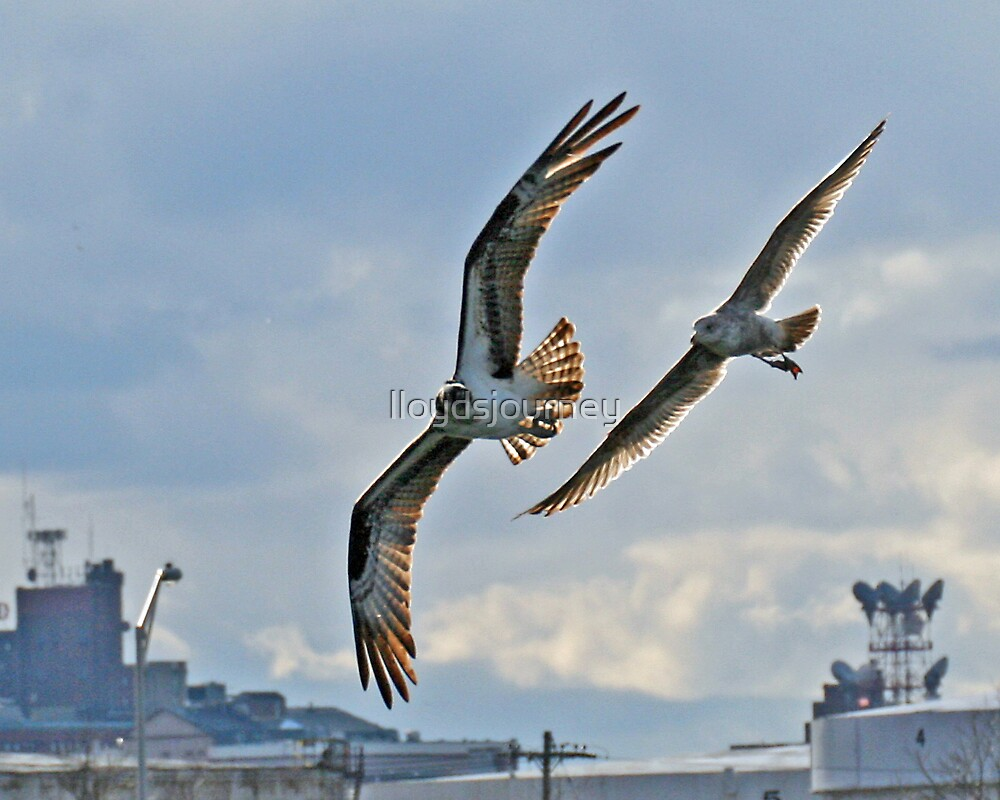 The Chase: Seagull chases Osprey by lloydsjourney