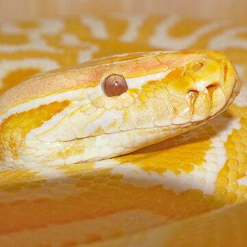 Albino Burmese Python by reptilesink