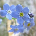 Forget Me Not by dawnpeace
