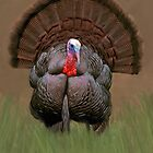 Wild Turkey by Walter Colvin