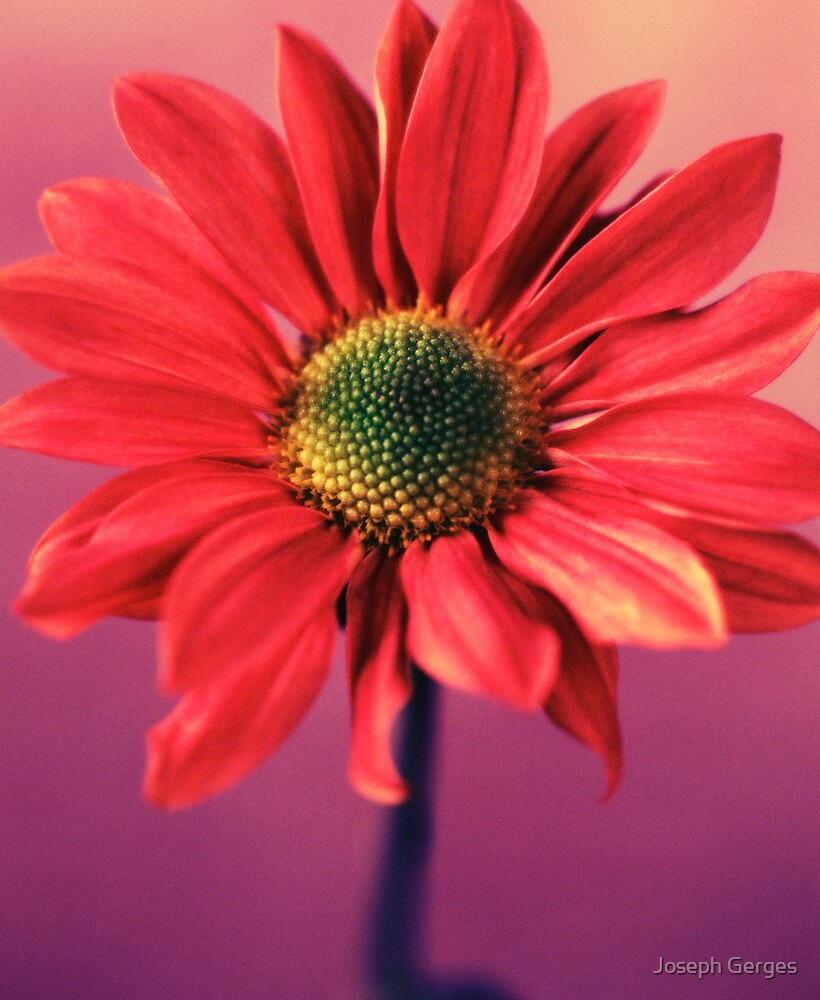 daisy #1 by Joseph Gerges