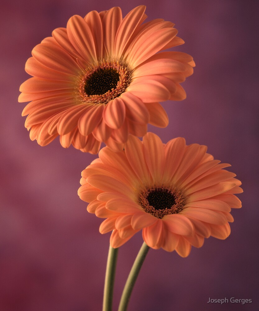 two gerberas #2 by Joseph Gerges