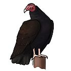 Turkey Vulture by KeesKiwi