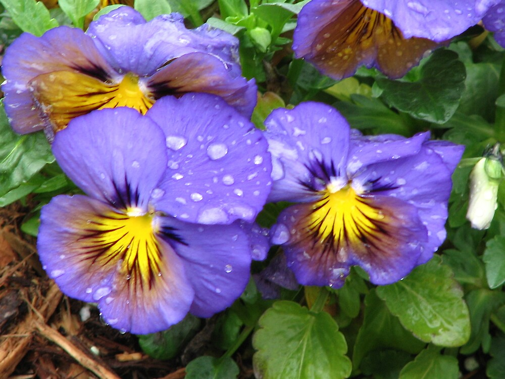Raindrops on Pansies by IndyLady