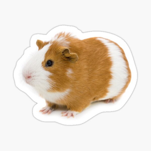 Red and white guinea pig Sticker