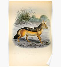 Dogs jackals wolves and foxes a monograph of the Canidae St George Jackson Mivart 016 The Black Eared Jackal Poster