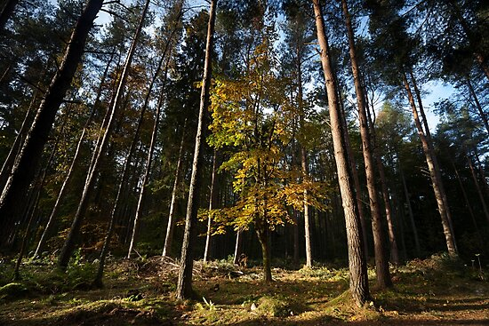 autumn in crathes woods  by codaimages