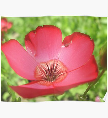 Red Phlox Poster