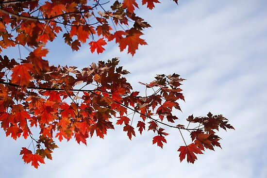 red maple leaves by codaimages