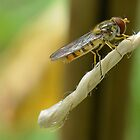Hoverfly at Rest by relayer51