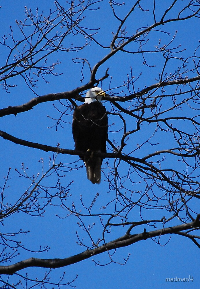 Bald Eagle by madman4