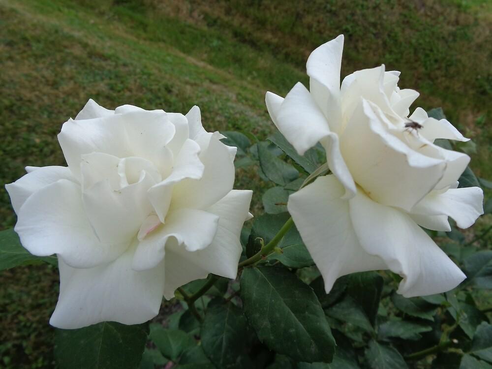 Two white roses by Ana Belaj