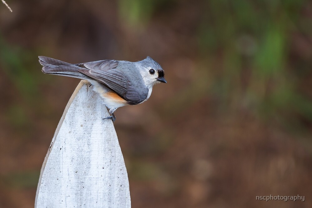 Tufted titmouse on a fence by nscphotography