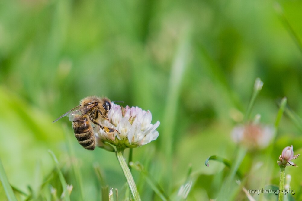 Honeybee on small white clover flower by nscphotography