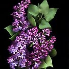 Lilacs  by Nancy Polanski