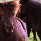 Wild Shetland Pony Portrait by Debja