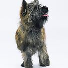Cairn Terrier by Avalinart