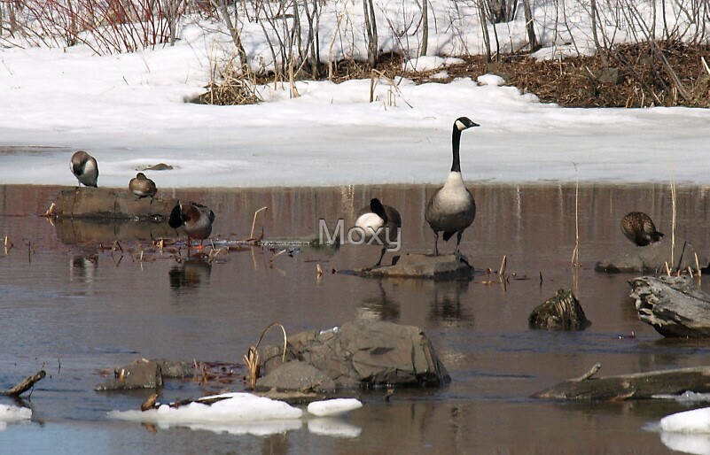 Ducks and Geese in the Icey Water by Moxy