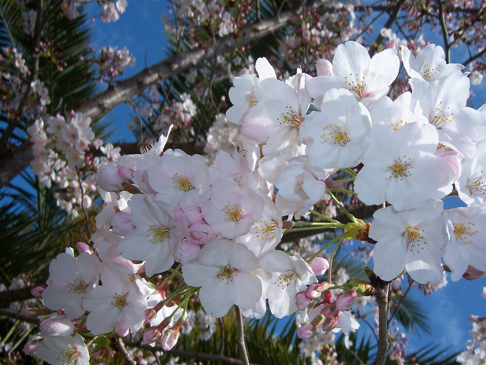 Cherry Blossom by Genevieve  Brown