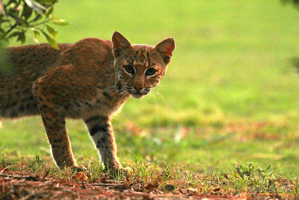 Wild bobcat by miradorpictures