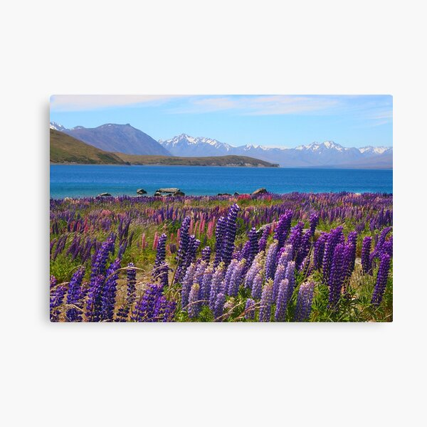 Lake Tekapo and wild flowering lupins Canvas Print