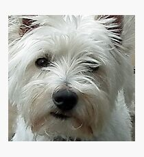 West Highland Terrier Archie............ Photographic Print