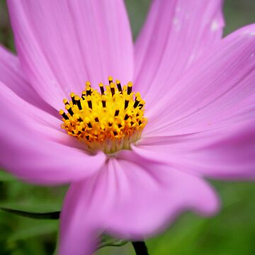 pink flower 01 by philipsmithart