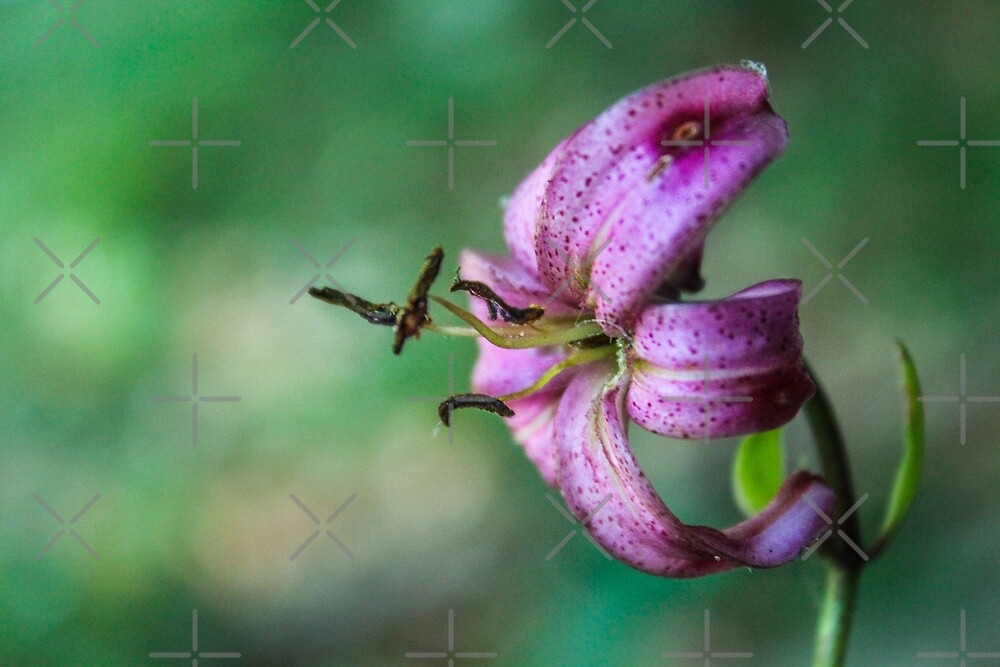The lone violet lily by Althea Gianera
