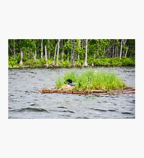 Loon on a Nest Photographic Print