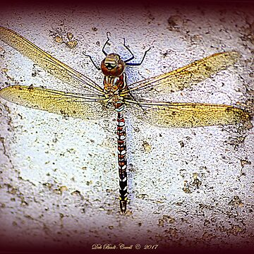 Twin-Spotted Spiketail Dragonfly by Badtgirl