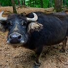 water buffalo on dry land by chrisflees