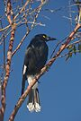 Currawong by Werner Padarin