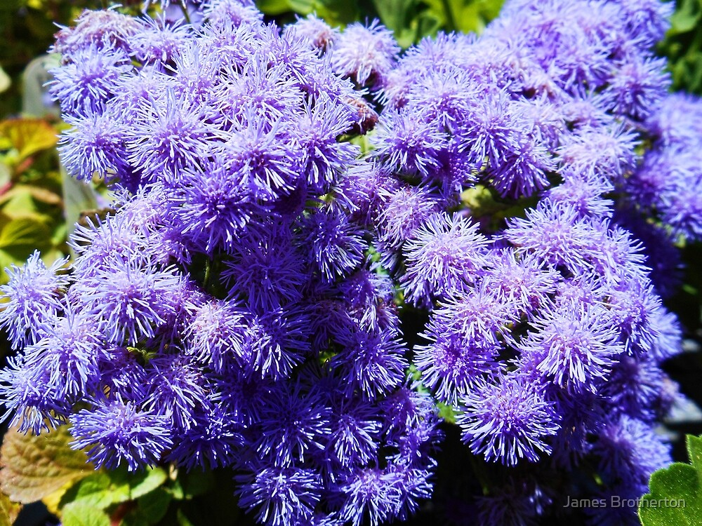 Ageratum by James Brotherton