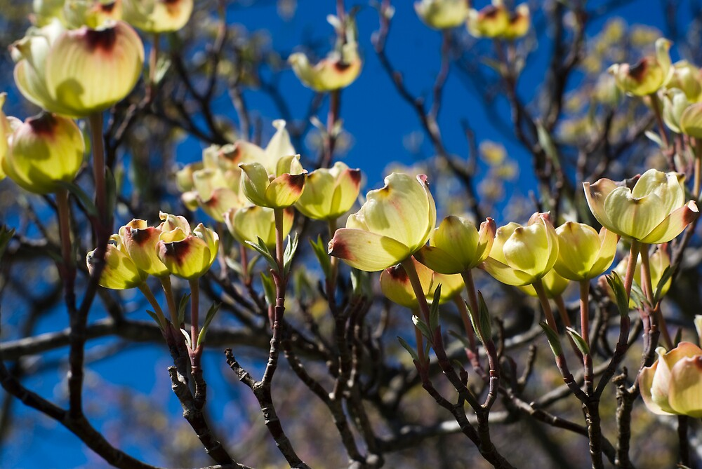 Dogwood Blossoms by Rod  Adams