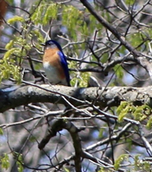 Bluebird by Maria White