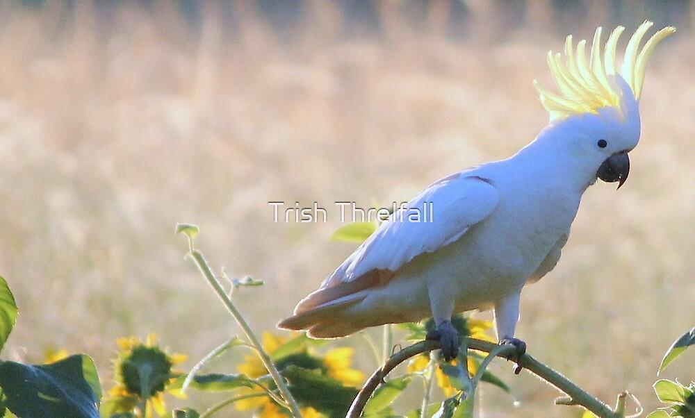 early morning Cockatoo, Uralba by Trish Threlfall