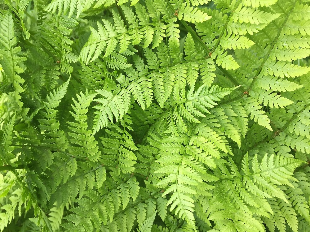 Lush Green Fern Fronds by MelissaGG