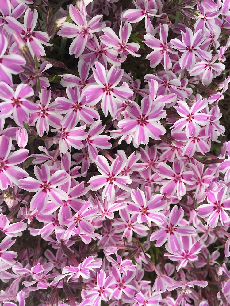 Striped Pink & White Flowers by MelissaGG