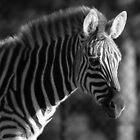 Zebra Stripes by jgregor