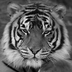Tiger Tiger by jgregor