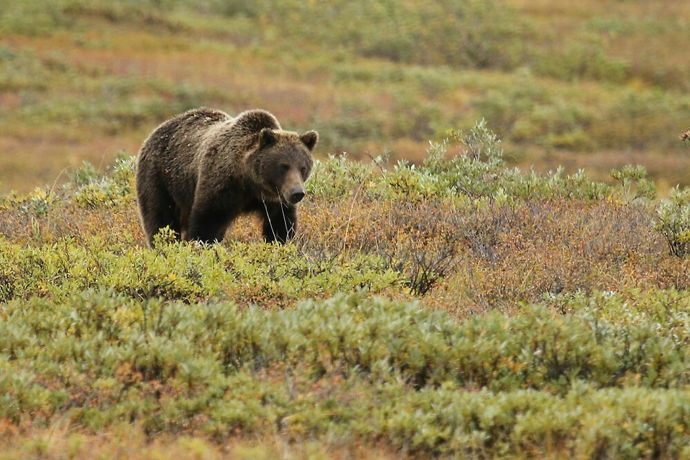 Bears of Denali 2 by jgregor