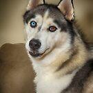Loveable Husky by Steve Randall